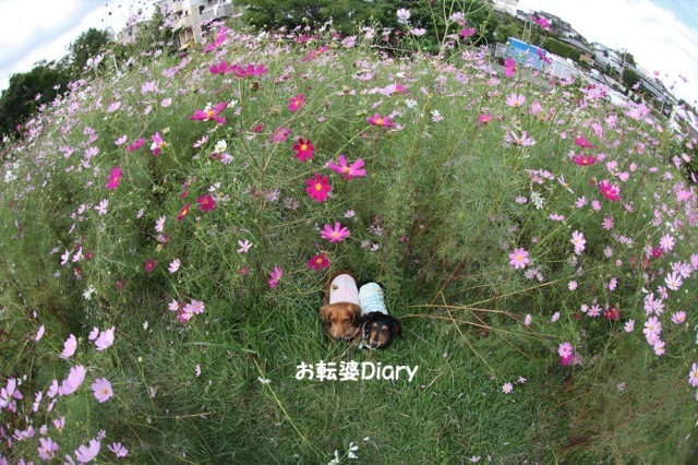 秋桜Ⅱ.jpg