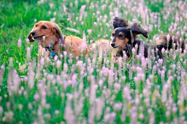 ツルボのお花畑.jpg