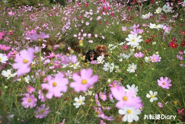 秋桜.jpg